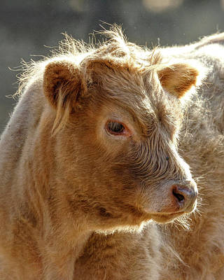 Photograph - Scottish Highland Calf by Wes and Dotty Weber