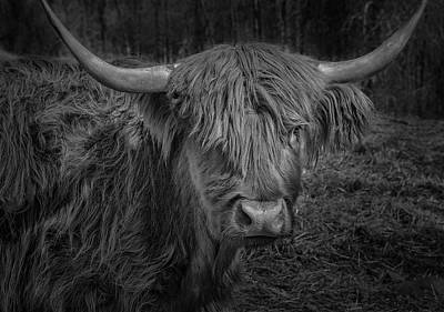Photograph - Scottish Highland Cattle Monochrome by Phil Cardamone