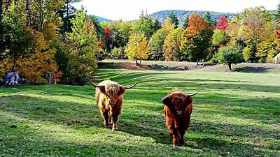 Photograph - Scottish Highland Cattle - New Hampshire Fall Foliage by Joseph Hendrix