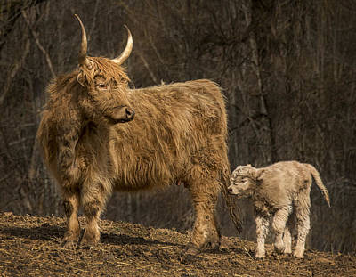 Photograph - Scottish Highland Cattle by Phil Cardamone