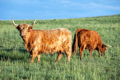 Scottish Highland Cattle Art Print