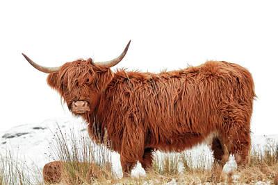 Photograph - Scottish Highland Cow by Grant Glendinning