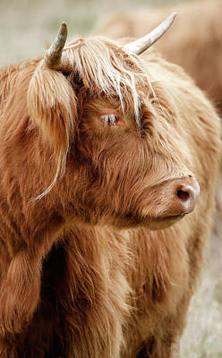 Photograph - Scottish Highland Cow IIi by Athena Mckinzie