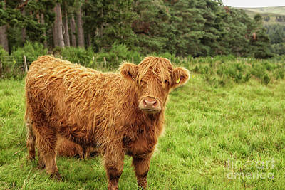Photograph - Scottish Highland Cow by Patricia Hofmeester