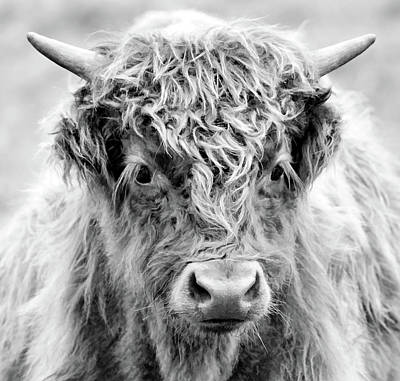 Photograph - Scottish Highlander Sprouting Horns by Athena Mckinzie