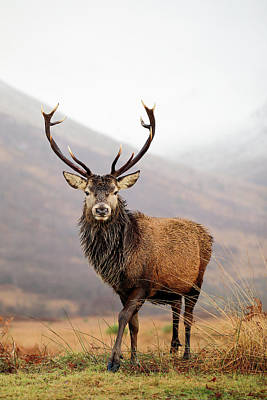Photograph - Scottish Red Deer Stag - Glencoe by Grant Glendinning