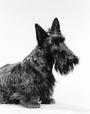 Best Friend Photograph - Scottish Terrier by H. Armstrong Roberts/ClassicStock
