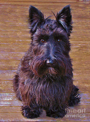 Photograph - Scottish Terrier by Michele Penner