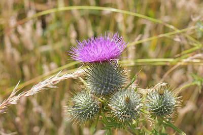Photograph - Scottish Thistle by Chris Coffee