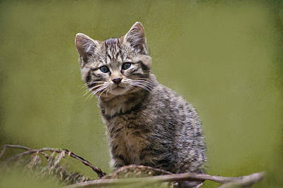 Photograph - Scottish Wildcat Kitten by Jacqi Elmslie