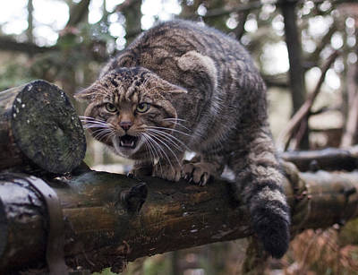 Photograph - Scottish Wildcat by Sue Arber