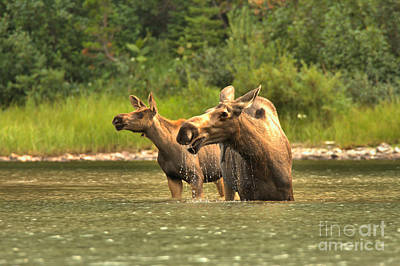 Moose In Water Photograph - Scouring The Rocky Mountain Lakeshore by Adam Jewell