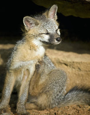 Photograph - Scratching Gray Fox by Michael Dougherty