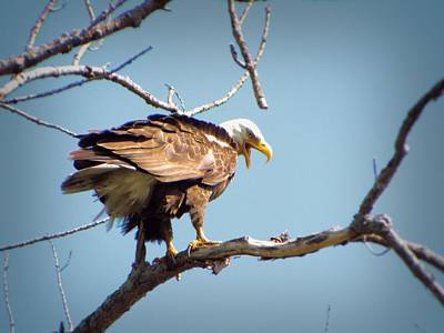 Photograph - Screaming Eagle by Gilbert Photography And Art