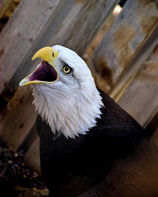 Photograph - Screaming Eagle by Harry Strharsky