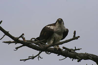 Photograph - Screaming Osprey by Christopher Kirby