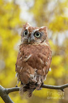 Photograph - Screech Owl 1 by Chris Scroggins