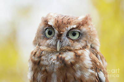 Photograph - Screech Owl 2 by Chris Scroggins