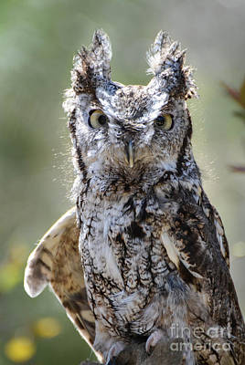 Photograph - Screech Owl by Amy Porter
