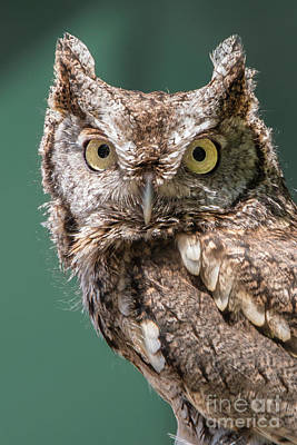 Photograph - Screech Owl by Anthony Sacco