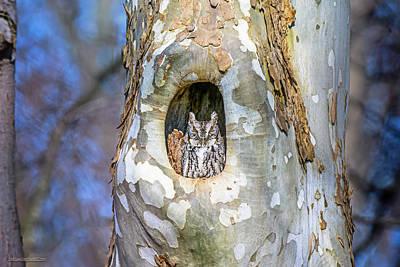 Photograph - Screech Owl In A Sycamore Tree by LeeAnn McLaneGoetz McLaneGoetzStudioLLCcom