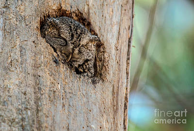 Photograph - Screech Owl In A Tree by Cheryl Baxter