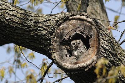Screech Owl Photograph - Screech Owl In A Tree Hollow by Darlyne A. Murawski