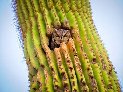 Photograph - Screech Owl In Saguaro by Judy Kennedy