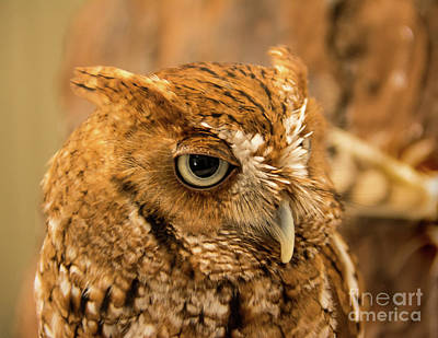 Photograph - Screech Owl by John Greco