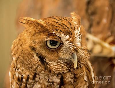 Photograph - Screech Owl by John Greco
