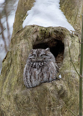 Photograph - Screech Owl - Napping by Ron Grafe