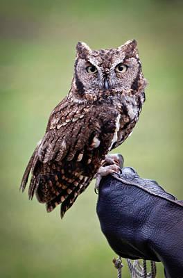 Animal Watercolors Juan Bosco - Screech Owl Perched by Athena Mckinzie