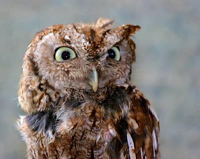 Photograph - Screech Owl by Polly Castor