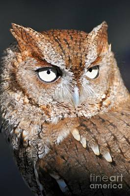 Photograph - Screech Owl Portrait by Rose  Hill