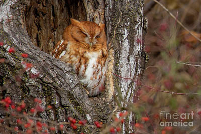 Photograph - Screech Owl by Reva Dow