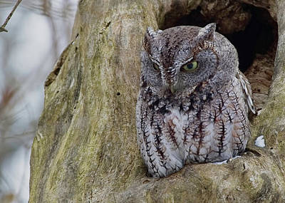 Photograph - Screech Owl by Ron Grafe