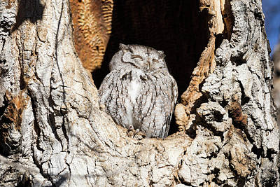 Photograph - Screech Owl Soaks In The Morning Sun by Tony Hake