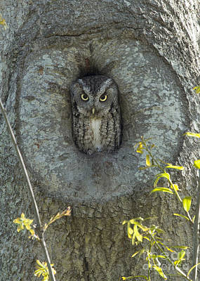 Photograph - Screech Owl Stare Down by D Wallace
