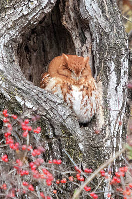 Photograph - Screech Owl by Steve Stuller