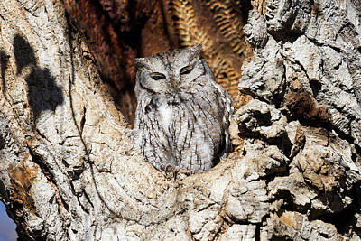 Photograph - Screech Owl Takes A Peep by Tony Hake