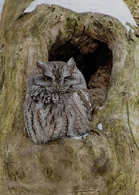 Photograph - Screech Owl - Winking by Ron Grafe