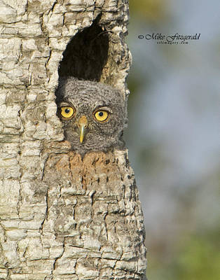 Photograph - Screech Owlet by Mike Fitzgerald