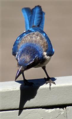 Photograph - Scrub Jay #1 by Ben Upham III