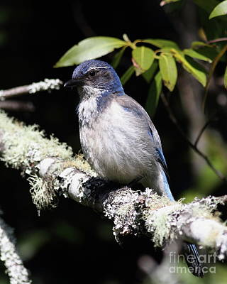 Photograph - Scrub Jay . 7d6663 by Wingsdomain Art and Photography