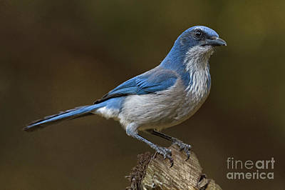 Photograph - Scrub Jay by David Cutts