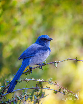 Linda King Photograph - Scrub Jay by Linda King