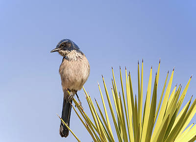 Photograph - Scrub Jay On A Joshua Tree by Loree Johnson