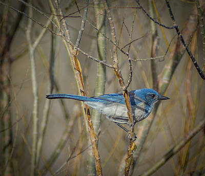Photograph - Scrub Jay by Rick Mosher
