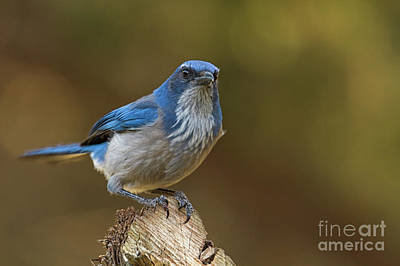 Photograph - Scrub Jay Stare by David Cutts