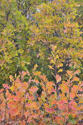 Photograph - Scrub Oak Colors Along Dallas Creek Road by Ray Mathis